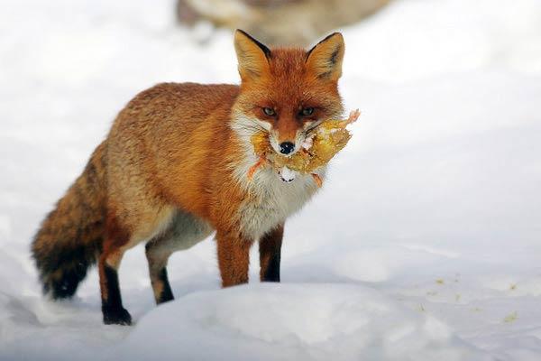 SZOK: Lisy krzyżują się z Wilkami!!!